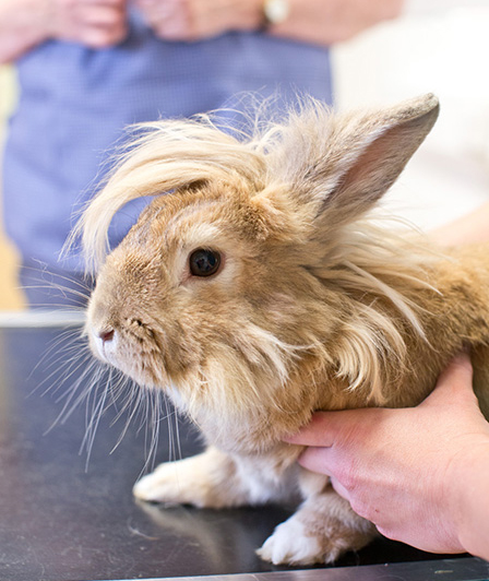hairy rabbit