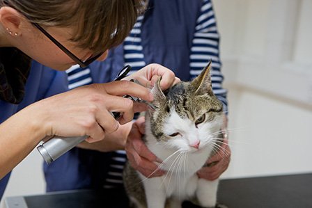 vet checking cats ear